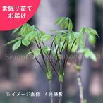 コシアブラ 樹高約30cm素掘り苗5株 山菜苗【入荷済