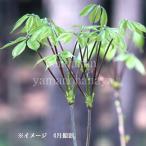 コシアブラ 9cmポット仮植え苗 山菜苗