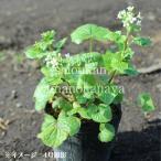 (1ポット) ハタケワサビ 10.5cmポット仮植え苗 山菜苗