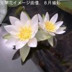 ヒツジグサ 10.5cmポット仮植え苗