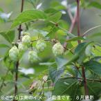 (2ポット) 山のホップ 10.5cmポット仮植え苗2ポットセット 山菜苗