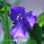 ムラサキツユクサ 紫花 9cmポット苗2株セット 山野草