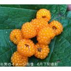 モミジイチゴ 9cmポット仮植え苗 果樹苗