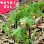 シドケ 5株 山菜苗