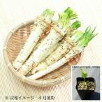 ワサビダイコン 9cmポット仮植え苗40ポット1ケース 山菜苗