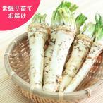 ワサビダイコン 5株 山菜苗