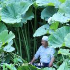 (28ポット)アキタフキ 10.5cmポット苗28ポットセット 山菜苗/耐寒性多年草/秋田蕗