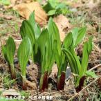 (2ポット)ギョウジャニンニク 9cmポット苗2ポットセット 山菜苗/耐寒性多年草/アイヌネギ
