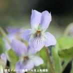Yahoo!紫桜館 山の花屋(1ポット) エゾアオイスミレ 9cmロングポット苗 山野草【新商品】※今季開花終了