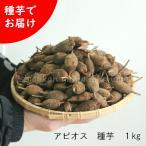 アピオス 種芋(素掘り苗)1kg 山菜苗