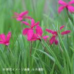 Yahoo!紫桜館 山の花屋アッツザクラ ドナルドマン 7.5cmポット苗【新商品】※今季開花終了