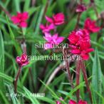 Yahoo!紫桜館 山の花屋アッツザクラ ルビーの輝き 7.5cmポット苗【新商品】