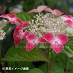Yahoo!紫桜館 山の花屋クレナイアジサイ 9cmポット苗【新商品】