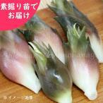 ミョウガ 晩生 5株 山菜苗