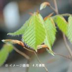 ブナの木 9cmポット苗