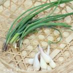 (2ポット)エゾネギ 9cmポット3株植え苗2ポットセット 山菜苗/耐寒性多年草/和チャイブ
