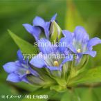 エゾリンドウ 9cmポット苗 山野草