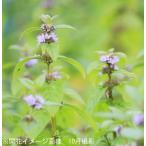 (2ポット)日本ハッカ 9cmポット苗2ポットセット 山野草/耐寒性多年草/日本薄荷/ミント