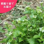 ハタケワサビ 20株 山菜苗