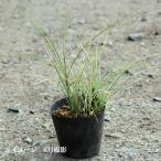 斑入り糸葉ススキ 10.5cmポット苗28ポット1ケース