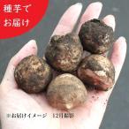 (100個) 岩手県産キクイモ(生)小さめ種芋 100個 無農薬栽培/土付き/12月4日からお届け開始