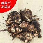 (5kg) 岩手県産キクイモ(生)種芋 5kg(25~50個程) 無農薬栽培/土付き/12月4日からお届け開始