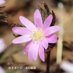 キクザキイチゲ 桃花 9cmポット苗 山野草