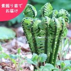 コゴミ 5株 山菜苗