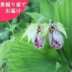 Yahoo!紫桜館 山の花屋日本クマガイソウ 素掘り苗1株(1芽)【新商品】