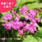 キョウカノコ 桃花 5株 山野草