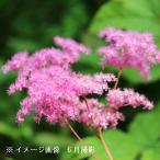 キョウカノコ 桃花 18cmポット大株苗 山野草