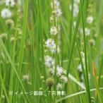 タマミクリ 10.5cmポット苗 湿地性植物