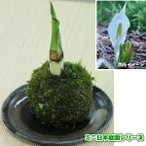 苔玉 今春開花!水芭蕉(ミズバショウ)の小さな苔玉