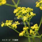 オミナエシ 9cmポット苗 山野草