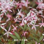 桃花ミツバシモツケ 9cmポット苗 山野草