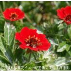 ポテンティラ ボルカン 10.5cmポット苗 宿根草
