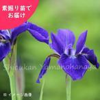 サキガケアヤメ 5株 山野草