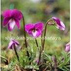 Yahoo!紫桜館 山の花屋スミレ 紅鶴  7.5cmポット苗【新商品】※今季開花終了