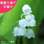 日本スズラン 5株 山野草