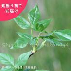 タカノツメ 樹高約30cm 地堀り苗20株 山菜苗