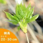 タカノツメ 10.5cmポット仮植え苗28ポット1ケース 山菜苗