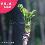 タラの木 樹高約30cm地掘苗5株 山菜苗
