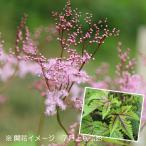チシオシモツケ(レッドアンブレラ) 9cmポット苗 山野草 ※6/20開花中