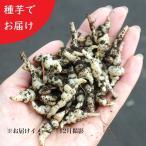 チョロギ 種芋(素掘り苗)20個 山菜苗