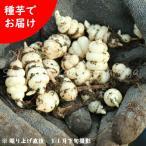 チョロギ 種芋100g 山菜苗