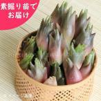 ミョウガ 早生 20株 山菜苗