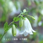 Yahoo!紫桜館 山の花屋ホタルブクロ 白花二重咲 9cmポット苗5ポットセット【今週のお買い得商品】