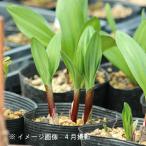 (5ポット)ギョウジャニンニク 10.5cmポット3株植え苗5ポットセット 山菜苗/耐寒性多年草/アイヌネギ/※6/16葉が傷んでいます