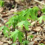 (5ポット)シドケ 10.5cmポット苗5ポットセット 山菜苗/耐寒性多年草/モミジガサ
