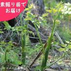 ヤマウド 5株 山菜苗sale